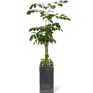 [개업추천]녹보수(약110cm이상)