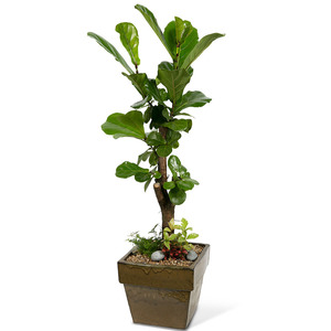 떡갈고무나무 (약120cm이내)