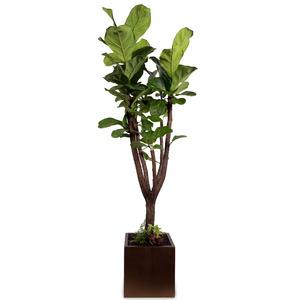 [인테리어인기]떡갈나무(약150cm)