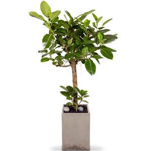 뱅갈고무나무(특)(120cm이상)