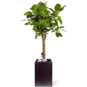 VIP 뱅갈고무나무(120cm이상)